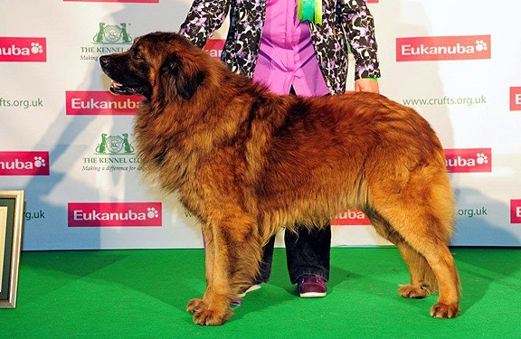 Estrela Mountain Dog Breeders Uk