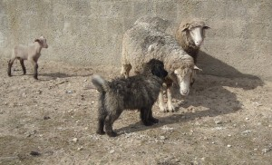 Xuva with the sheep in Portugal